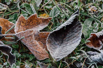 Wallpaper autumn leaves covered with frost