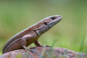 The common wall lizard - Podarcis muralis