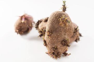 patate germogliate su sfondo bianco
