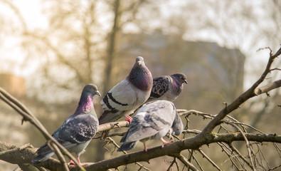 City pigeons on a branch