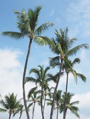 Coconut Palms in the Hawaiian Islands