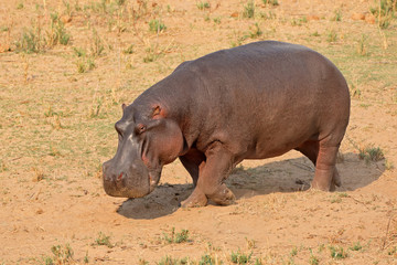 A hippo (Hippopotamus amphibius) on land, Kruger National Park, South Africa.