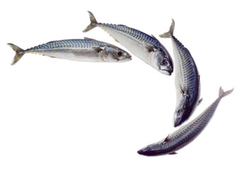 Several raw atlantic mackerels on a light background