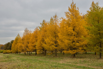 Yellowed autumn larch