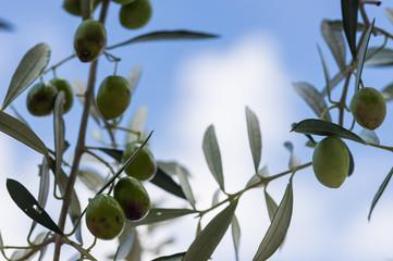 Fototapete - Oliven Baum Zweig Hintergrund Himmel mit Wolken