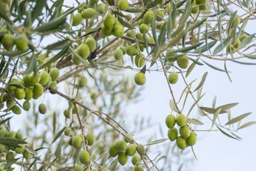 Fototapete - Olivenbaum Ast Zweig Grüne Oliven Früchte