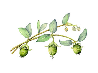 Watercolor illustration of jojoba