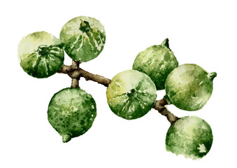 Watercolor illustration of Macadamia