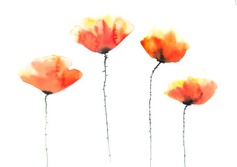 Beautiful poppy flowers on white, watercolor illustrator