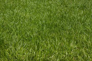 Grass background. Beautiful green grass