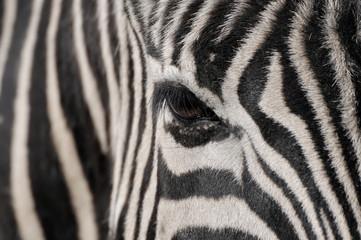 Poster de jardin Zebra Zebra