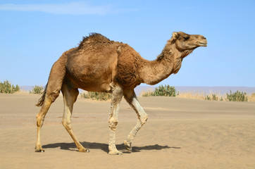 Photo sur Plexiglas Chameau Walking camel
