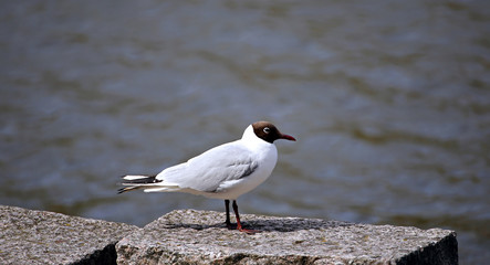 Black-headed white seagul