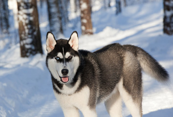 Siberian husky in the winter forest