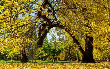 Leafy Tree in Fall, Fallen Leaves
