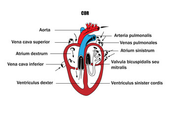a schematic representation of the internal organs, the anatomy of the heart