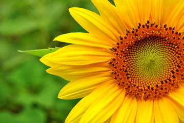 Close up of a Sunflower with Dew Drops