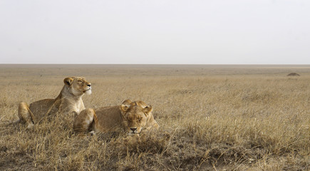 Lions laying in the Serengeti.