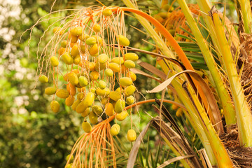 Unripe dates hanging on the palm