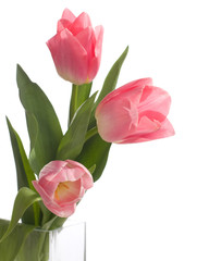 three pink tulips isolated on white