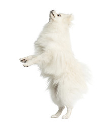 Spitz standing in front of a white background