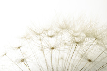 macro of an overblown fluffy dandelion