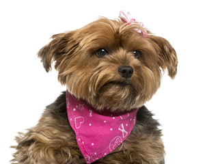 Close-up of a Yorshire terrier in front of white background