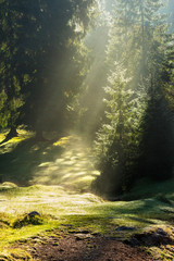 early sun rays make fog from dew on a meadow in conifer forest on cold autumn morning
