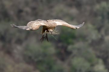 Cape Vulture 4