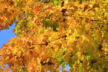 Gold colored tree leaves