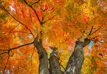 Upward view of a big maple tree with colorul autumn leaves