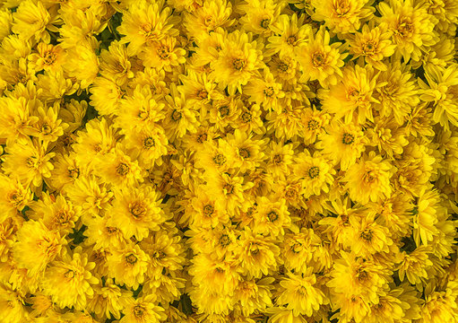 Yellow Mums or Chrysanthemums flower background