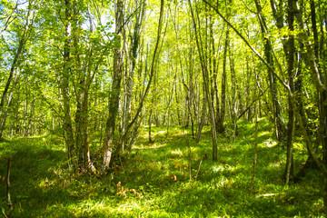 Beech forest late summer