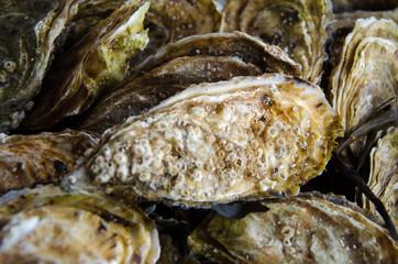 A big fresh oyster seashell