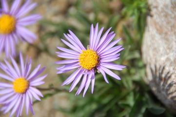 Purple daisy (Dimorphotheca) flower