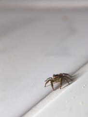 Macro shot of a jumping spider (Marpissa muscosa)