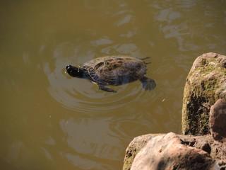 Schildkröte schwimmend