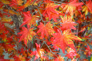 bouquet artificial maple , Vivid color leave are orange.