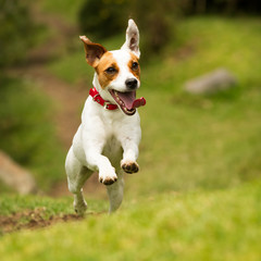 Jack Russell Terrier Running Free Low Angle