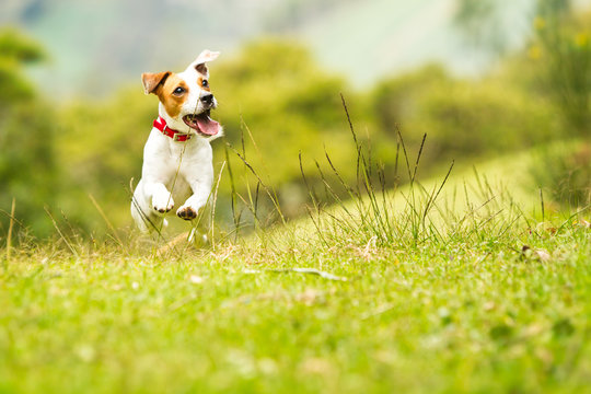 dog jump grass happy run outdoor russel jack low playing angle pet small nature satisfied dog moving to the camera low angle high velocity shot dog jump grass happy run outdoor russel jack low playin