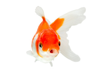 goldfish isolated red white what so fantail background animals oranda goldfish isolated on white high value studio shot manually removed from scene so the finnage is complete goldfish isolated red wh