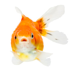 Pearlscale Goldfish Face