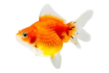 Juvenile Pearlscale Goldfish