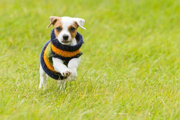 Jack Russell Terrier Outdoor
