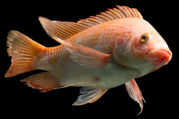 Nile Red Tilapia Fish