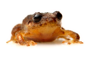 Common Frog Isolated On White Studio Shot