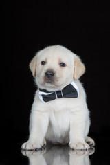 labrador puppy in a black bow tie