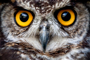 owl eye wildlife bird prey macro night face nature great up owls are the order strigiformes constituting 200 extant vertebrate of prey variety most are solitary and nocturnal owl eye wildlife bird pr