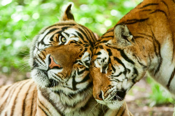 Male And Female Tiger