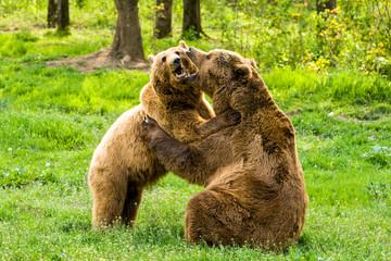 Couple Of Wild Bears Embracing